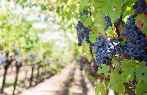 Wijngaarden van de Ardèche